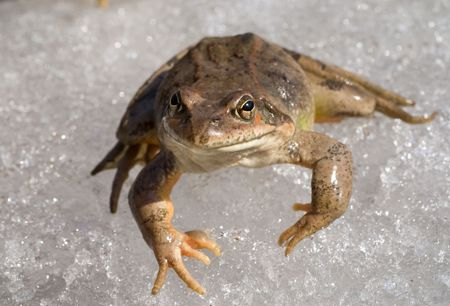 A close-up of the frog on ice. Early spring.