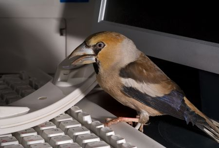 A close-up of the bird hawfinch on keyboard at handset and video monitor and printer. photo