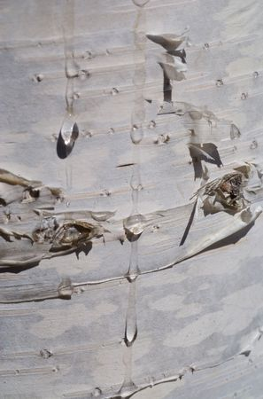 A close-up of the bark of birch with drops of juice. Stock Photo