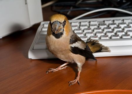 A close-up of the bird hawfinch at keyboard and printer. photo