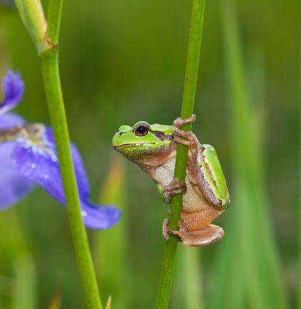hyla: A close-up of the frog hyla (Hyla japonica) on stem of iris. Stock Photo