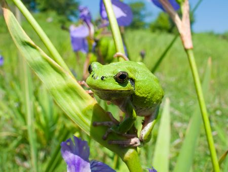 haulm: A close-up of a frog hyla (Hyla japonica) on haulm of iris. Russian Far East, Primorye.