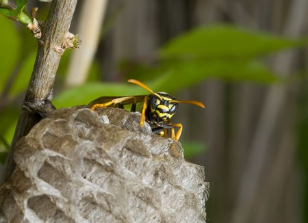 A close-up of the single wasp (queen) on comb. Stock Photo - 5068297