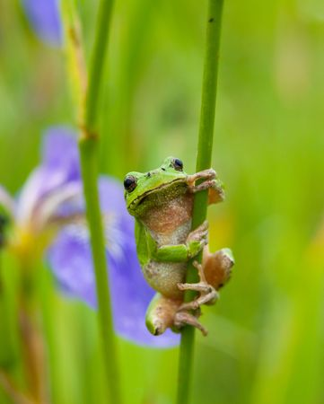 wetness: A close-up of the frog hyla (Hyla japonica) on stem of iris. Stock Photo