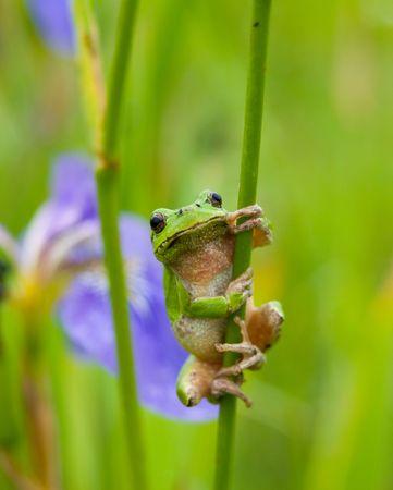 A close-up of the frog hyla (Hyla japonica) on stem of iris. Stock Photo
