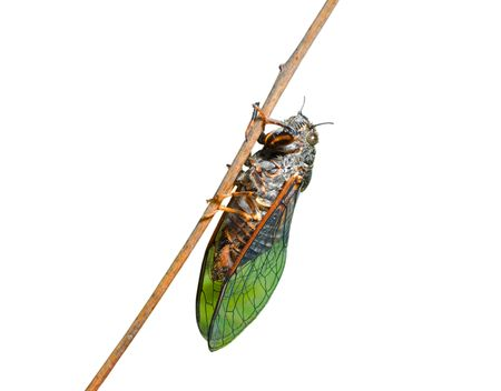 A close-up of the cicada on branch.
