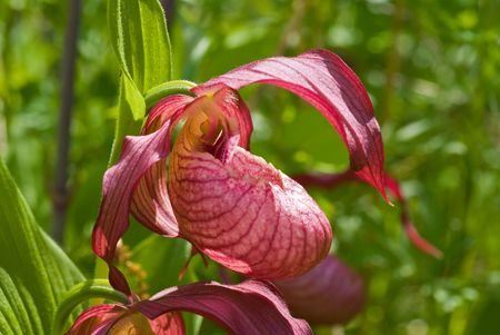 lady's slipper: A close-up of the flower of orchid ladys slipper among grass. Stock Photo