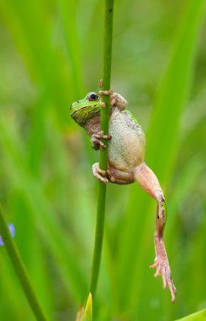 arboreal frog: Un close-up de la Hyla rana (Hyla japonica) en el tallo de iris. Foto de archivo