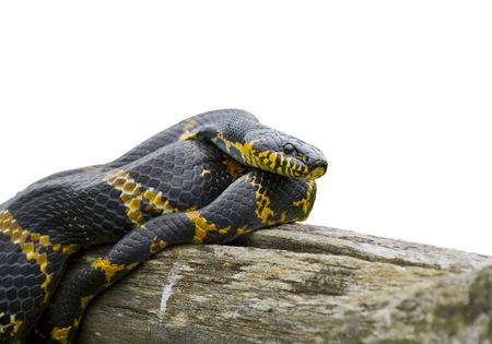 A close-up of Schrenck's rat snake (Elaphe schrenckii) on log. 스톡 콘텐츠