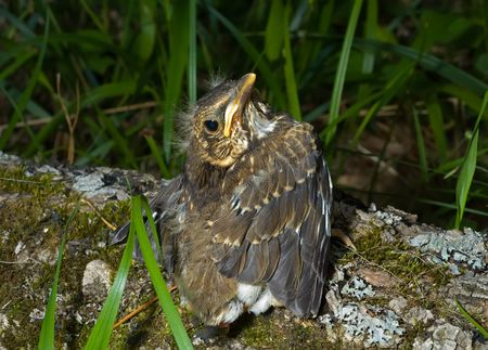 nestling: A close-up of the nestling of thrush. Stock Photo