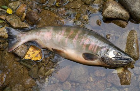 A close-up of the salmon (Oncorhynchus masou) on stones in water. Male. Stock Photo - 5531858