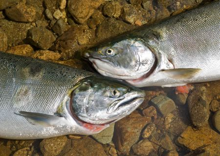 A close-up of the two salmons (Oncorhynchus masou) on stones in water. Doe. Stock Photo - 5654657
