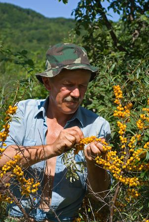 plucking: A man is plucking the berries of sea-buckthorn in garden. Stock Photo