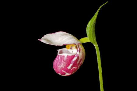 lady's slipper: A close up of the flower of lady�s slipper (Cypripedium guttatum). Isolated on black.