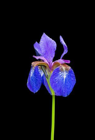 laevigata: A close up of the flower of iris (Iris laevigata). Isolated on black.