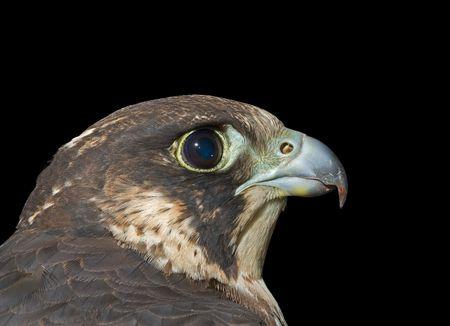 A close up of the head of falcon (Falco subbuteo). Profile. Isolated on black. photo