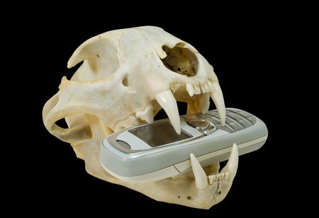 A close up of the telephone in teeth of skull of big cat (lynx). Isolated on black. photo