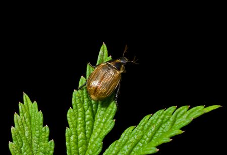 A close up of the beetle (Chafer) on green leaf. Isolated on black.