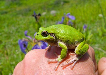 hyla: A close up of the frog hyla (Hyla japonica) on hand.