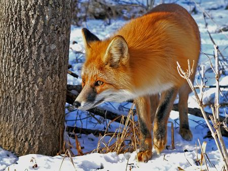 The red fox stands at  a tree. Watchful look. Winter and snow. photo