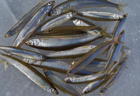 A close up the fishes (smelt) on ice of river. Winter. Stock Photo - 6398027