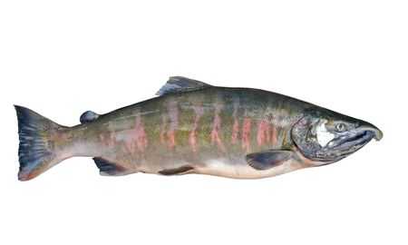 A close up of the salmon (Oncorhynchus masou). Male. Isolated on white.