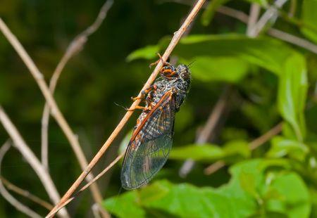 crick: A close up della cicala sulla canna.
