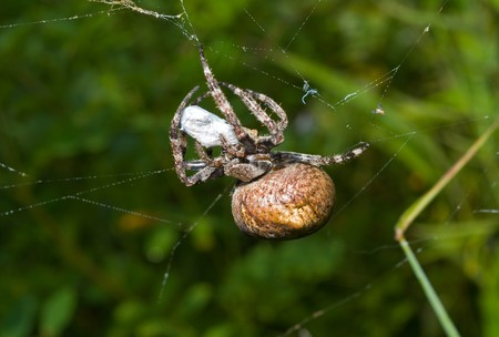 A close up of the doe of spider on spider-web with insect caught by it. photo