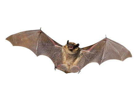 bat animal: A close up of the small bat. Isolated on white.
