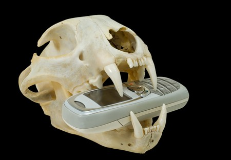 A close up of the telephone in teeth of skull of big wild cat (lynx). Isolated on black. photo