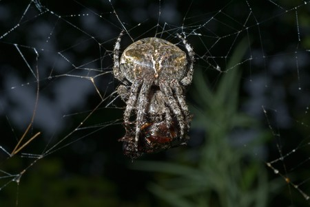 bloodsucker: A close up of the doe of spider on spider-web with insect caught by it.