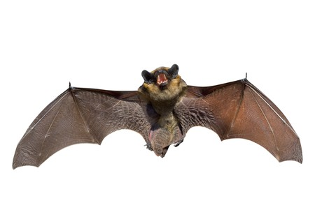 A close up of the small bat. Isolated on white. Stock Photo - 7100786