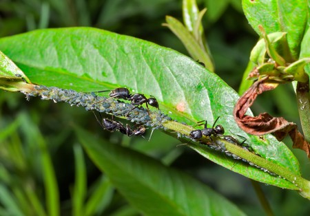 symbiotic: A close up of the ants and aphids on grass.