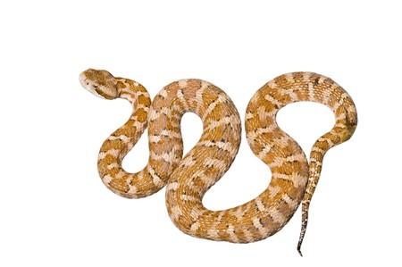 hiss: A close up of the venomous snake (Agkistrodon saxatilis). Isolated on white. Stock Photo