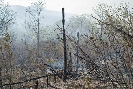 Un frondoso bosque despu�s de un incendio. Primavera.  Foto de archivo - 7279926