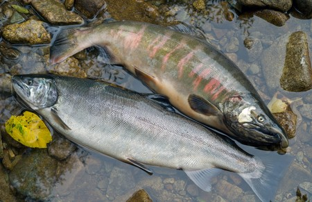 A close up of the two salmons (Oncorhynchus masou) on stones in water. Male and doe. Stock Photo - 7435230