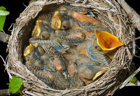 A close up del nido de candidiasis bucal con beb�s peque�os. Aislados en negro.  Foto de archivo - 7435229