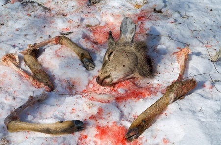 animal blood: A close up of the spoils of a deer, killed to the poachers. Winter. Stock Photo