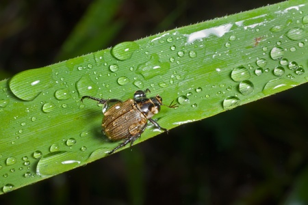 A close up of the small beetle chafer on grass-blade with raindrops.