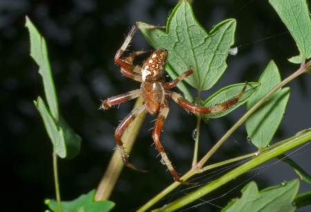 A close up of the spider on leaf with raindrops photo