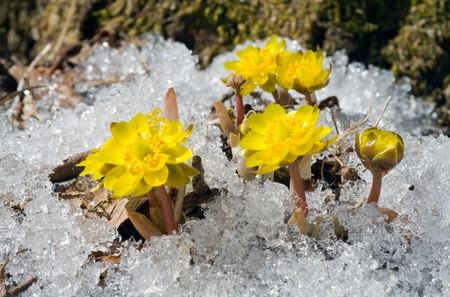 A close up of the first flowers pheasants eye (Adonis) among melting snow. Early spring.