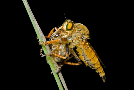 A close up of the raptorial fly (Asilidae) with insect caught by it. Isolated on black. photo