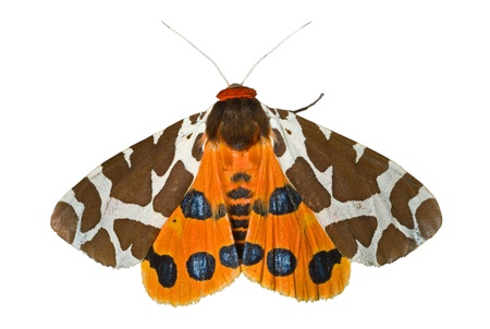 A close up of the butterfly tiger-moth (Arctia caja). Isolated on white.