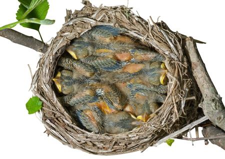 A close up of the nest of thrush with small babies. Isolated on white. Stock Photo - 8920307