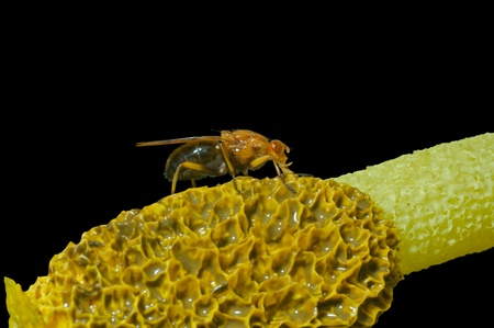 frowzy: A close up of the yellow fly on very fetid mushroom. Isolated on black. Stock Photo