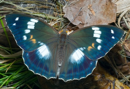 A close up of the butterfly (Apatura schrencki).