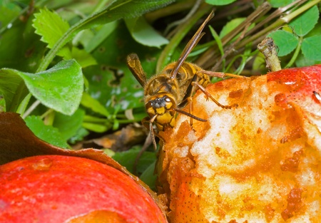 A close up of the hornet eating apple. Stock Photo - 9392124