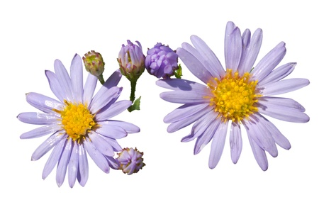 A close up of the flowers of wild asters. Isolated on white. photo