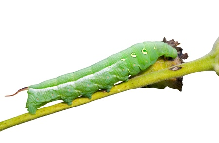 A close up of the caterpillar of hawkmoth. Isolated on white. Stock Photo - 9414845