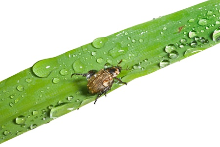 coleopter: A close up of the small beetle chafer on grass-blade with raindrops. Isolated on white.